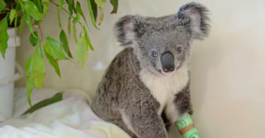 Bowie the koala has heterochromia, a rare genetic condition that causes her eyes to be two different colours. Photo: Australia Zoo