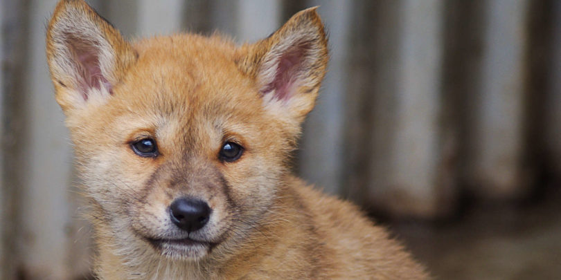 One of the new dingo pups born at Toolernvale Dingo Sanctuary. Photo: Mel Browning, Spesh Photography