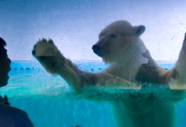 A visitor looks at 'the world's saddest polar bear' named Pizza at the Grandview Aquarium in Guangzhou in China. Aquarium management says the bear is happy and healthy. Photo: Bi Zhiyi, Imaginechina, AFP