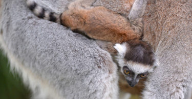 Australia Zoo in Queensland is celebrating the birth of two ring-tailed lemurs. Photo: Ben Beaden, Australia Zoo