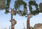 Taronga Zoo in Sydney had a big party for the animals and the people on October 7 to celebrate their 100th bithday. Photo: Rick Stevens