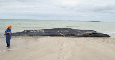 A 15-metre young blue whale beached on South Australia's Yorke Peninsula. It was alive but very sick. Photo: SA Museum