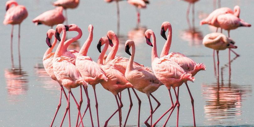Above right, a group of flamingos per forming a courtship dance in Kenya, Africa. Photo: Gudkov Andrey
