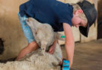 Charlie Dunn, aged five, is one of Australia's youngest sheep shearers. Photo: Melissa Tidd
