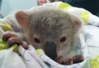 Orphaned joeys like this one can lose their mums to car accidents and dog attacks. Photo: Viviana Gonzalez
