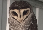 Oscar the sooty owl flew away from Adelaide Zoo last week and the whole city turned out to look for him. Photo: supplied
