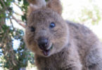 A quokka with a winning smile. Photo: Sylke Rohriach, Flickr