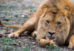 An African lion. Photo: Zoos