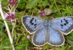 The highly endangered Large Blue (Maculinea Arion) species of butterfly. British collector Philip Cullen was convicted on March 16, 2017 of killing two of them. Photo: Martin Warren, Butterfly Conservation, AFP