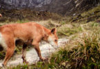 The New Guinea highland wild dogs look just like Australian dingoes but their tails curl up over their backsides like fishhooks. Photo: New Guinea Highland Wild Dog Foundation