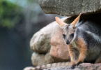 A yellow-footed rock wallaby. Photo: Adrian Mann, Zoos SA
