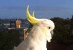 Party Boy is one of the sulphur crested cockatoos in the Wingtag Project. Party Boy is a social media favourite. Here he is overlooking Sydney. Photo: Cockatoo Wingtag