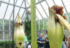 Visitors flocked to see two corpse flowers blooming at the Chicago Botanic Garden in Chicago, Illinois in the US in early June 2017. Photo: Nova Safo, AFP