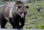 A large grizzly bear in Yellowstone National Park in July 2005. Photo: William Campbell, Corbis, Getty Images