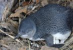 A little penguin in Manly, Sydney. Photo: National Parks and Wildlife Service