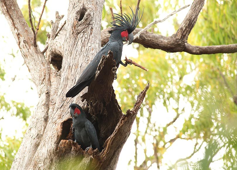Male palm cockatoo drumming for nesting female. Photo: C Zdenek