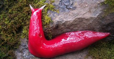 One of the pink slugs of Mount Kaputar National Park in NSW emerges after rain. Photo: Michael Murphy, NPWS