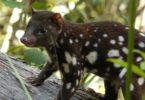 The northern species of the spotted-tailed quoll is the smallest of the quolls in Australia. It weighs between 4 to 7 kilos as an adult, and only lives for about 3 years. Human impact is the largest threat facing the quoll. Photo: WildCAM Australia