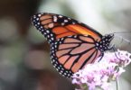 A monarch butterfly on a purple flower. Photo: Cheryl Schultz