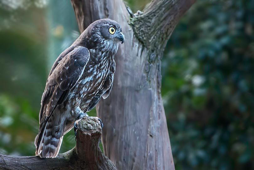 An adult barking owl in QLD. Photo: Narelle Power