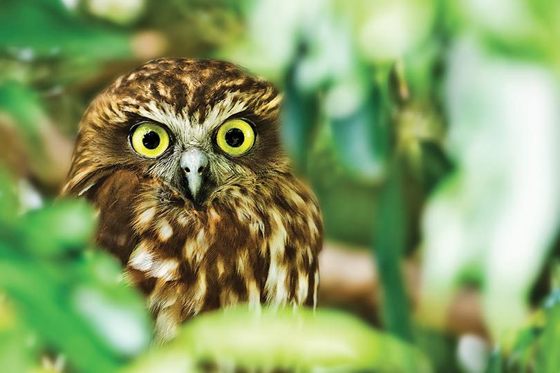 An adult boobook owl in QLD. Photo: Narelle Power
