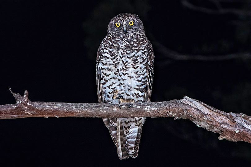 An adult powerful owl in QLD. Photo: Narelle Power