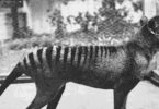 One of the last surviving captive Tasmanian tigers in a Hobart zoo, 1933. Photo: David Fleay, public domain