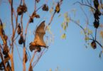 A colony of little red flying foxes has taken up residence in Nitmiluk National Park at the mouth of Katherine Gorge in the Northern Territory. Photo: Glenn Campbell
