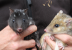 Juvenile eastern quolls (Dasyurus viverrinus) at the Devils@Cradle conservation facility at Cradle Mountain, Tasmania in September 2017. Photo: WWF-Aus, Madeleine Smitham
