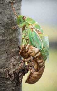 A cicada shedding its skin in the Blue Mountains of NSW. Photo: Wolter Peeters
