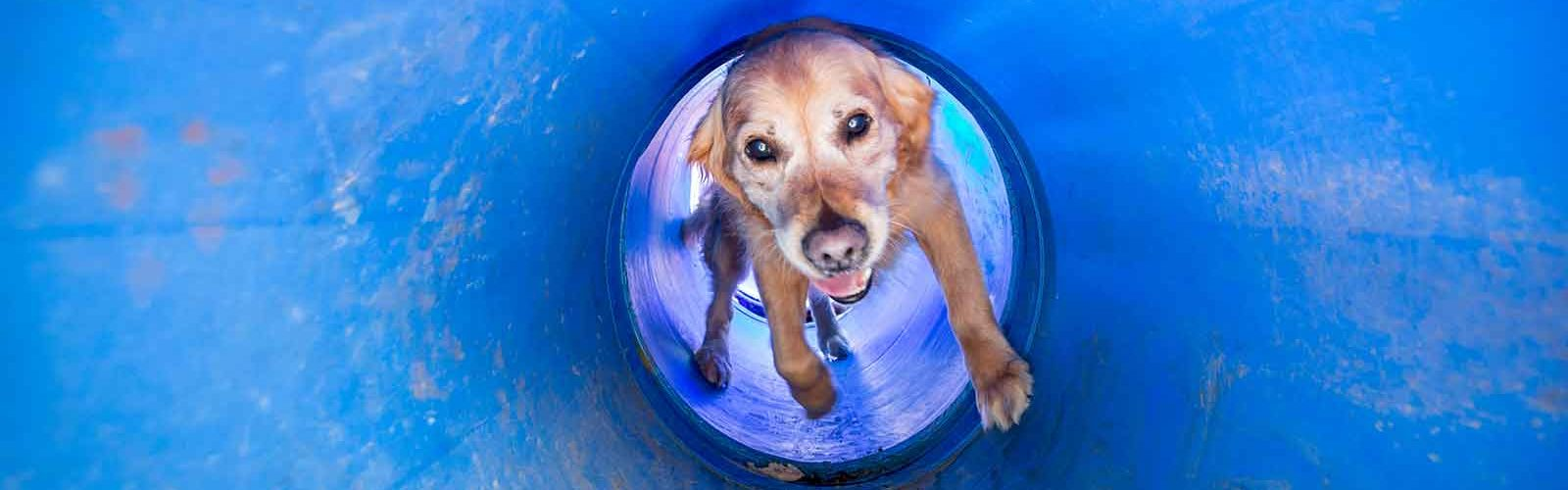 Golden retriever Will races through one of the tunnels used for training at Search and Rescue Dogs Australia. Photo: Elizabeth Clancy