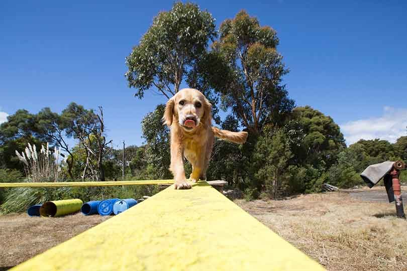 Golden retriever Will trains across elevated ladders, planks and wire with Search and Rescue Dogs Australia trainer, Julie Cowan guiding him. Photo: Elizabeth Clancy.