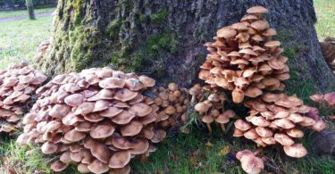 Honey mushrooms pop up near trees infected with or killed by honey fungus. Photo: Peter O'Connor