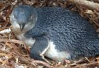 Little penguin numbers have fallen dramatically in some South Australian colonies, including at Granite Island, but researchers hope they are making a comeback. Photo: Jo-Anna Robinson