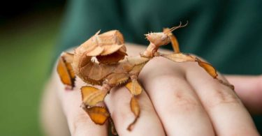 Lochie Bradley has unusual pets - spiny leaf stick insects! Photo: Elizabeth Clancy