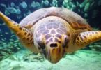 With Manly Sea Life Sanctuary in Sydney closing in 2018, a big operation is planned to move the 2000 animals, inluding this loggerhead turtle, that so many like them have called home for the past 50 years. Photo: Many Sea Life Sanctuary