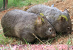 These orphaned wombats, Pudding and Oliver, have been released back into the wild in western Sydney. Photo: supplied