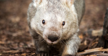 Winnie, Australia's oldest known wombat, turned 31 on December 12. Photo: National Zoo & Aquarium